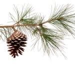 rama de pino con cono — Foto de Stock