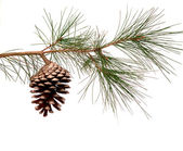 Pine branch with cone — Stock fotografie