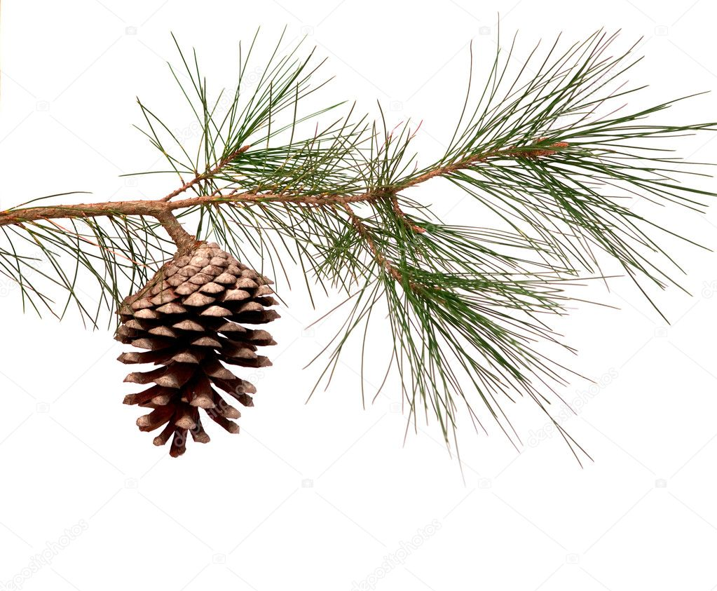 Pine branch with cone isolated on white background — Stock Photo #1903389