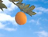 Branch with ripe orange — Stock Photo