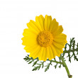 Stock Photo: Golden Marguerite
