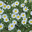 Field of chamomile (scented mayweed) — Stock Photo #1999924