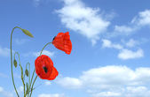 Red poppy flowers on sky background — Stock Photo