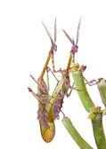 Mating mantises — Stock Photo