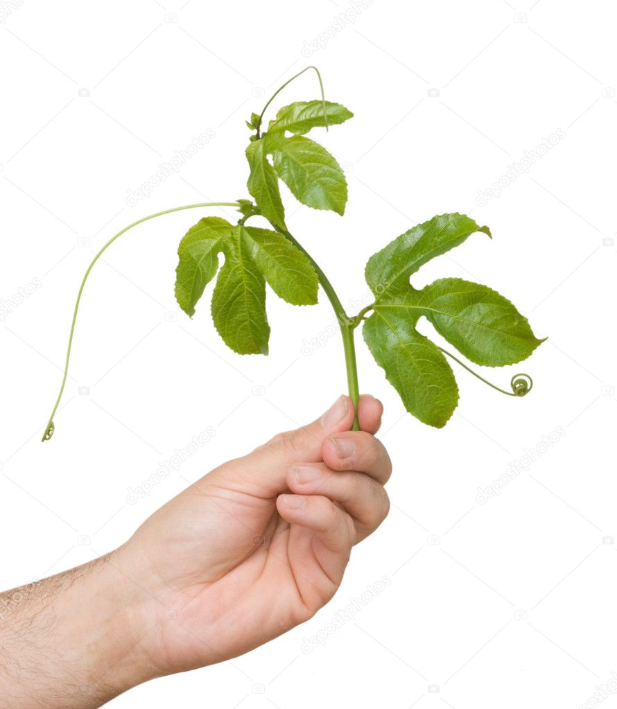 Hand holding vine of passiflora as a gift — Stock Photo #2653432