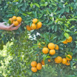 Tangerine trees at season of harvest — Stock Photo