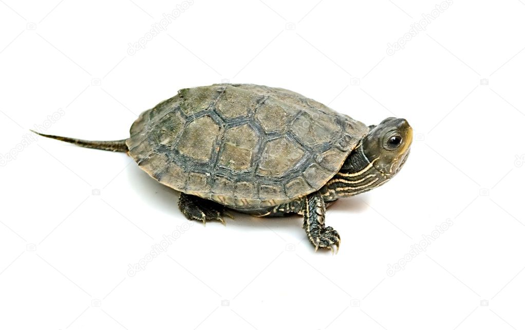 Close up of caspian turtle  Stock Photo #2662013