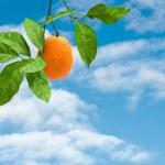 Branch with ripe orange — Stock Photo #2673325