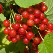 Red currant — Stock Photo #1814095