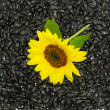Sunflower on seeds — 图库照片
