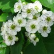Blooming hawthorn — Stock Photo