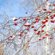 Snow-bound rowan branches — Stock Photo