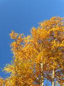 Autumn birches — Stock Photo