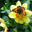 Butterfly on flower — Stock Photo #1923511
