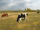 Cows on grassland — Stock Photo