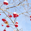 Winter berry rowan - Stock Photo
