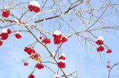 Winter berry rowan — Stok fotoğraf