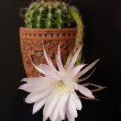 Flower of cactus echinopsis — Stock Photo