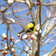 Titmouse on rowan - Stock Photo