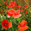 Scarlet poppy — Stockfoto