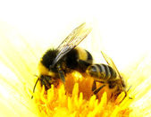 Bees pick pollen — Stock Photo