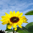 Stock Photo: Two bees on sunflower