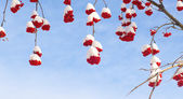 Snow-bound rowan berry on blue — Stock Photo