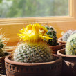 Cactuses on window-sill — Stock Photo