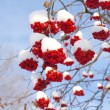 Winter rowan - Stock Photo