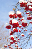 Winter rowan — Stock Photo