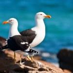 Pair of Cape gulls — Stock Photo #1802146