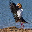 Egyptian Goose — Stock Photo #1802159