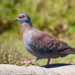 Speckled Pigeon — Stock Photo #1802182
