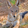 Stock Photo: Black Backed Jackall