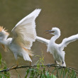 Cattle Egret mother and young - Stock Photo