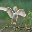 Cattle Egret - Stock Photo