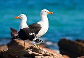 Pair of Cape gulls — Stock Photo