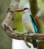 Woodland Kingfisher — Foto de Stock