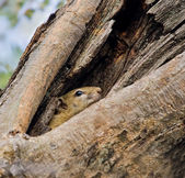 Tree Squirrel — Stock Photo