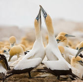 Cape Gannets greeting — Stock Photo