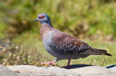 Speckled Pigeon — Stock Photo