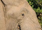 Closeup of an African Elephant — Stock Photo