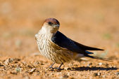 Greater Striped swallow — Stock Photo