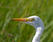 Cattle Egret closeup — 图库照片