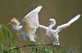 Cattle Egret mother and young — Stock Photo