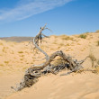 Постер, плакат: Dead tree in the Kalahari