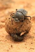 Dung Beetles — Stock Photo