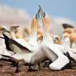 Stock Photo: Cape Gannets Greeting