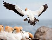 Cape Gannet — Stock Photo