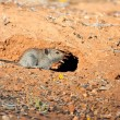 Stock Photo: Mouse heading for safety of his hole